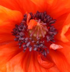 Poppy (stuartcroy) Tags: orkney island poppies poppy sony