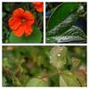 rain drops (judydeanclasen) Tags: macroshots laurelleaves roseleaves nasturtium raindrops