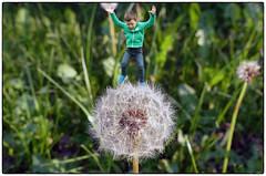 Honey, I shrunk our son! (PLADIR) Tags: honeyishrunkourson dandelion pusteblume löwenzahn panasonic fz1000 spas spass fun fotomontage kind child sprung outdoor
