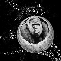 Ape In A Tree (Mabry Campbell) Tags: discoverygreen houston houstonphotographer november tx texas usa unitedstates animal blackandwhite christmas decoration fineartphotography image monkey photo photograph photography squarecrop f16 mabrycampbell december 2014 december12014 20141201h6a1270 50mm ¹⁄₅₀sec 200 ef50mmf12lusm