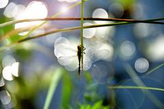 Libelle im Sonnenlicht (inge_rd) Tags: libelle dragonfly gegenlicht lichtspiel bokeh reflection reflektion