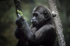 Contemplating Kale (Notkalvin) Tags: gorilla ape simian notkalvin mikekline notkalvinphotography outdoor zoo pittsburgh primate kale hatekale whoeatskale animal captive captivity