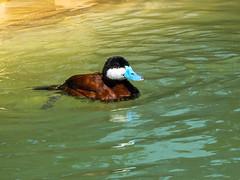 Ruddy Duck (gendarme02) Tags: duck waterfowl seaworld outdoor 2011 pond male colorful wildlife outside ruddy bird ruddyduck park urban sanantonio blue float