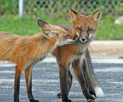 Mother Love (marylee.agnew) Tags: red fox canine love mother kit grown wildlife affection nature outdoor urban
