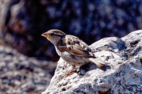 Varpunen / Sparrow
