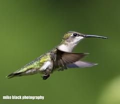 Hummingbird in flight (Mike Black photography) Tags: bird tern hummingbird nj new jersey shore canon 5dsr 800mm big year mike black nature birding