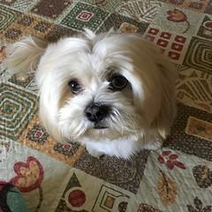 Jack... (Marcilia Bevitori) Tags: marciliabevitori minasgerais lovely beauty lhasa lhasaapso iphonese iphone brasilemimagens ngc perro mydog dog jack