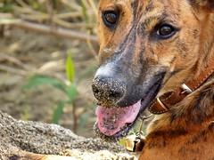 Hiro sabbia sul naso (dina.elle) Tags: hiro galgo espanol levriero cucciolo tigrato occhi eyes sabbia naso fiume divertirsi giocare