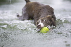 Catch it! (Wiktoria Frąszczak) Tags: dog dogphotography pet animal animalphoto bordercollie chocolate wave green water wet action ball swimming swimmer