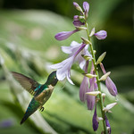 hosta and hummingbird thumbnail