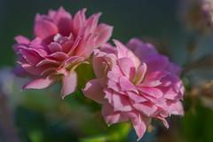 The Queen of Kalanchoe (HMM !) (ralfkai41) Tags: makro queen plant kalanchoe macro macromondays blossom blüte flammendeskäthchen blume kalanchoeblossfeldiana nature pflanze natur flower