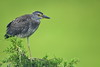 Juvenile Yellow Crowned Night Heron (Mark Schwall) Tags: heronry rookery wadingbird bird southernnewjersey nj newjersey nikon d500 nikkor600mmf4ais manualfocus markschwallphotographycom wildlife nyctanasaviolacea yellowcrownednightheron juvenile