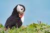 Puffin (Shane Jones) Tags: pufin skomer bird seabird nature wildlife nikon d500 200400vr tc14eii