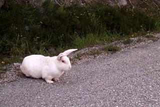 { Wild rabbit }
