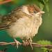 Little grumpy sparrow