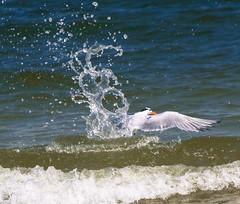DSC_6835 (capt_tain Tom) Tags: terns tern gulfofmexico gulls splash shipisland