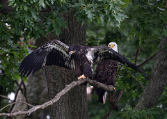 Learning to Maneuver (MJMPhoto II) Tags: americanbaldeagle eagle birdsofprey dewartlake perch trees roost