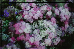 l u s h (emmakatka) Tags: flowers inverted dreamy surreal emmakatka artist photography pink summer warm lush