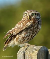Wild little owl (waynehavenhand1) Tags: birdofprey birds feather wild wildlife northumberland owls owl littleowl