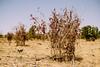 Mango seedling (CIFOR) Tags: africa dryforests kongoussi burkinafaso villageofsindri seedling mango environmentalimpact horizontal fruits cifor dryland climatechange centrenord bf
