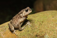 IMG_6246-1 Asian common toad (Duttaphrynus melanostictus) (Vince_Adam Photography) Tags: asiancommontoad taiwan herpsoftaiwan duttaphrynusmelanostictus