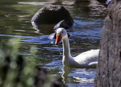 Geese (Hans van der Boom) Tags: holiday vacation southafrica lesotho zuidafrika semonkong maseru animal geese lso