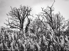Scary Trees (Francesco Impellizzeri) Tags: brighton england canon trees black white monochrome nature
