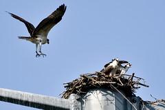 124 (GJSmith Photography) Tags: osprey gjsmith birds nikon d750 200m 500m clutch nest birding 500mm uper telephoto