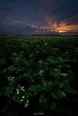 Potato sunset..... (avdstelt) Tags: landscape landscapephotography nikon d810 potato netherlands biesbosch nature naturephotogtaphy sunset sun clouds farmland