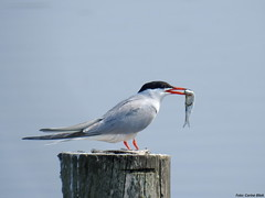 Common Tern with dinner (Corine Bliek) Tags: sternahirundo bird birds nature natuur wildlife vis fish caught water