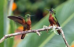 IMG_6618 Chestnut-breasted Coronet (suebmtl) Tags: ecuador napoprovince bird birding sanisidro hummingbird chestnutbreastedcoronet boissonneauamatthewsii