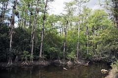 Quiet n the Surface D7C_3763 (iloleo) Tags: landscape florida bigcypressnationalpreserve mangrove cypress everglades nikon d750 scenic nature
