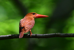 A ruddy kingfisher in a beech forest (1) (takashimuramatsu) Tags: ruddy kingfisher ruddykingfisher halcyoncoromanda beech forest japan summer red アカショウビン