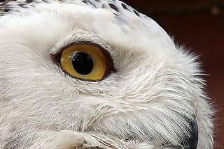 Snowy owl - MM: Texture