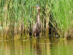 Héron pourpré 07 (jean-daniel david) Tags: héron héronpourpré nature oiseau oiseaudeau eau étang lac lacdeneuchâtel roseau réservenaturelle reflet vert