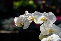 A series of white flowers this time. (Moxibustion) Tags: birds botanicalgardens flowers sydneybotanicalgardens wildlife sydney newsouthwales australia au