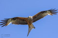 Red Kite - Milvus Milvus (mikedenton19) Tags: milvusmilvus red redkite kite milvus bird prey birdofprey bop harewood house harewoodhouse westyorkshire leeds wildlife nature flight birdinflight