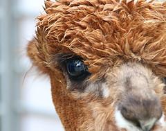 Damp Alapaca (Russ Argles) Tags: alpaca animal nature damp canon 70d eos hair eye