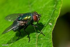 The fly in the garden.              Die Fliege lm Garten. (Loop van Dike) Tags: macro garten garden outdoor blatt green grün fliege fly