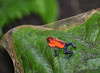 dart frog (animalisterra) Tags: amphibian frog dartfrog poisonous red blue leaf plant jungle forest small tiny dangerous nikon costarica costa rica outside outdoors nature