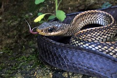 Ptyas dhumnades (big-eyed ratsnake/ racer) (Kevin Messenger) Tags: ptyas dhumnades china jiangxi big eye eyed ratsnake racer snake herpetology harmless nonvenomous