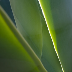 Agave (paul indigo) Tags: fuerteventura agave edge graphic green leaf pattern plant succulent sunlight