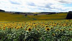 A perte de vue..... (LILI 296...) Tags: tournesols jaune canonpowershotg7x campagne gers france midipyrénées nature été summer yellow