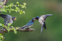 Swallows (Hirundo rustica ) (Dale Ayres) Tags: swallows hirundo rustica bird nature wildlife