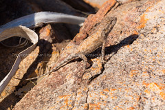 Bennett's Dragon (Diporiphora bennetti) (runwildtv) Tags: agamid bennetts diporiphora kimberley mitchell plateau wa agama australia bennetti camouflaged dragon sandstone western