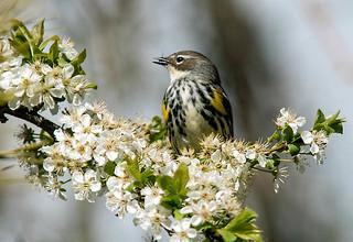 IMG_4231 Yellow-rumped Warbler feeding