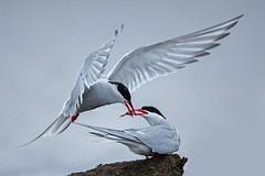 Artic Terns (Eric Gofreed) Tags: alaska articterns barrow tern