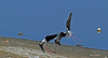 Danse avec les échasses... (PACHA23) Tags: cabodegata nature viesauvage bird aves oiseau fauna wildlife faune échasse