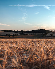 (Matthew Murray Photo) Tags: wheat field yellow trees landscape sunset nature blue clouds nikon green pink crop pasture agriculture farm outdoors dusk local cereal samyang 16mm explore rokinon cropland graduated no person nikonphotography d5500 35mm nikonafsnikkor35mmf18gdx