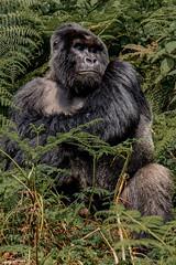 Silver Back, Virunga, Rwanda (donnatopham) Tags: rwanda gorilla